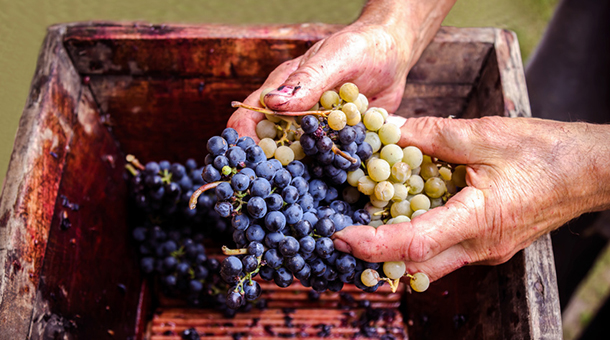 Uvas de Valdeorras en mano