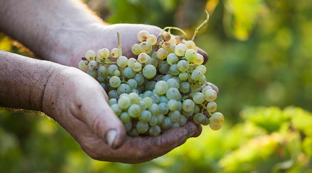 Racimo de uva godello