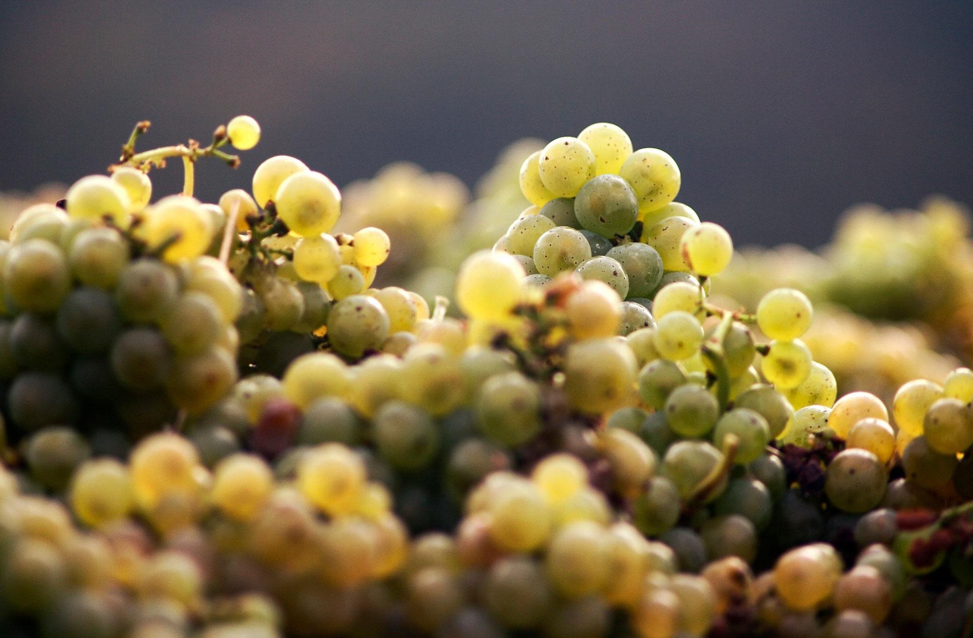 Uvas de bodega Viña Somoza